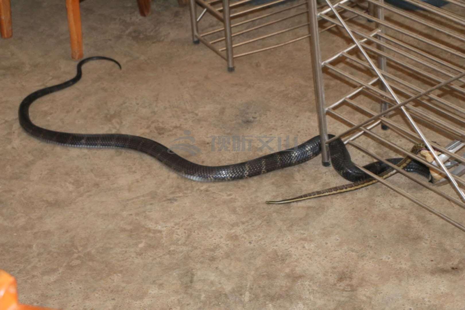 两条大蛇居民家中上演蛇吃蛇!_视听文山_.